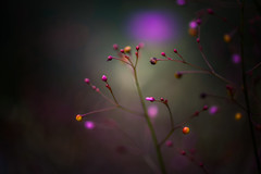 The tree of knowledge (hploeckl) Tags: light bokeh purple macro nature