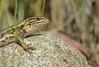 Lagartija (Liolaemus pictus) (Vive Naturaleza) Tags: liolaemus lagartija lizard pictus reptil chile