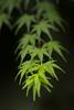 Growing up (Sentir es Existir) Tags: sony a6000 zuiko 50mm f14 naturaleza acer japonico bokeh dof green pov focus