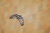 T4 (wn_j) Tags: birds birding birdsofprey birdsinflight nature naturephotography animals wildlife wildanimals wildlifephotography redtailhawk raptors raptor franklinhawks franklinhawk phillyhawk philadelphia