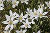 Ornithogalum umbellatum [Explore   Jan 7, 2017] (Marco Ottaviani on/off) Tags: natura nature piante plants liliaceae ornithogalum oumbellatum fiori flowers canon marcoottaviani