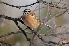 Bruant fou - Emberiza cia (aiglonne) Tags: bruant fou emberiza cia suisse romande valais marais grône wild birds oiseaux aves