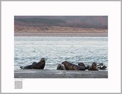 Wild area (Emmanuel DEPARIS) Tags: phoque nord france plage emmanuel deparis nikon d500 seal