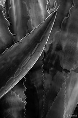Blue Agave III (PJ Resnick) Tags: perryjresnick pjresnickgmailcom ©2017pjresnick ©pjresnick cathedralcity pjresnick nature light fuji fujifilm noir atmosphere atmospheric digital shadow texture shadows angle perspective naturallight xf fujinon resnick soft design plant depthoffield black fujixpro2 xpro2 pattern rectangle rectangular outdoor california desert subtle agave blueagave abstract 4x6 depth blackandwhite monochrome monochromatic blackbackground minimal minimalism minimalist bw blackwhite 35mm fujinon35mmf14 f14 35mmf14 dark pjresnickphotographygmailcom