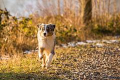 (Fotos aus OWL) Tags: bonnie hund dog aussie australian shepherd
