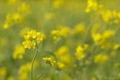 Yellow mustard.... (Joe Hengel) Tags: socal southerncalifornia sanjuancapistrano afternoon yellow theoc orangecounty oc outdoor green goldenstate bokeh dof depthoffield spring winter mustardflower