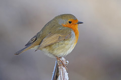 Robin 3 (Hugobian) Tags: hmwt amwell nature reserve winter frost pentax k1 cold robin bird birds british fauna wildlife animal