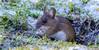 _DSC5717 (gupta.steve) Tags: gelbhalsmaus maus nagetier säugetier schnee winter tier natur wildlife nikon tamron makro