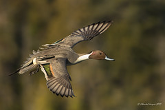 Spread your wings- Northern Pintail style (Chantal Jacques Photography) Tags: northernpintail bokeh wildandfree esquimaltlagoon spreadyourwings bif elegantduck