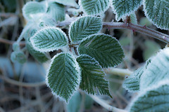 Frosted Bramble leaves... (petegatehouse) Tags: leaves leaf frost ice winter bramble blackberry fruit icy icecrystals shade