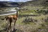Vigilante (JMFREDES) Tags: guanaco vigilante torresdelpaine puertonatales parquenacional