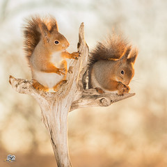 do you listen (Geert Weggen) Tags: red nature animal squirrel rodent mammal cute look closeup stand funny bright sun backlight ice winter snow branch treetrunk pair duo two couple family geert geertweggen weggen bispgården ragunda jämtland