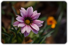 Pink Gazania (Craig Jewell Photography) Tags: botanicgarden flora flower flowermacro gazania graden mtcoottha pink brisbane australia ¹⁄₁₂₅₀sec f35 ‒1ev canoneos5dmarkii iso125 20100710235157mg8296cr2 craigjewell
