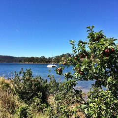 Wild apples and our borrowed mooring in Copper Alley Bay