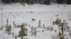 Wolf (Arvo P) Tags: algonquinpark outdoors ontario park nature natural naturallight naturephptpgraphy winter arvopoolar