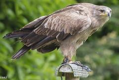Tawny Eagle - Aquilla rapax (stuboy72) Tags: eagle tawny aquilla rapax