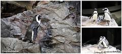 African Penguins (Aithal's) Tags: usa boston digital america canon eos penguin aquarium penguins newengland 7d canoneos murali bostonaquarium africanpenguin africanpenguins canondigital 18135 18135mm aithal canon18135mmis canon7d aithals wwwmuraliaithalcom canon18135mmisusm mewenglandaquarium