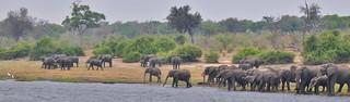 Elephant herd on the Chobe River (Botswana)