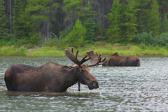 Pete Rowen - Moose cooling off in Many Glacier