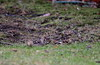 Common Redpoll (jd.willson) Tags: birds island bay birding maine jd common penobscot redpoll willson islesboro jdwillson