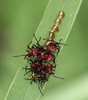 Golden Eggs insects at Dark Moon Preserve (Tombo Pixels) Tags: golden newjersey nj insects eggs preserve assassinbug darkmoon wheelbug goldeneggs twb1 naturewalk2015 darkmoon150141