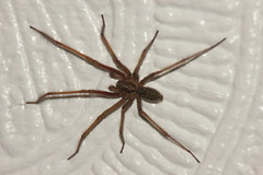 Autumn Spider (Rob390029) Tags: brown white house wall giant spider legs arachnid leg 8 common legged aracne atrica eratigena