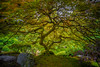 """That Japanese Maple"" Portland Japanese Gardens, Portland, OR (Bradley Pearce) Tags: tree oregon portland japanese maple thattree"
