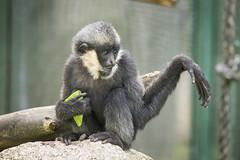 2015-05-23-10h30m02.BL7R8146 (A.J. Haverkamp) Tags: zoo czechrepublic dierentuin liberec tsjechi tsjechie whitecheekedgibbon witwanggibbon canonef100400mmf4556lisusmlens liberecregion httpwwwzoolibereccz