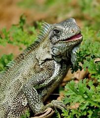 Green Iguana Closeup (Susan Roehl - 6M Views - Thanks Everyone) Tags: ngc handheld cropped herbivores arboreal greeniguana imagestabilizer takenfromboat thepantanal cuiabariver brazil2012