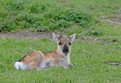 New life (Wildlife Online) Tags: animal reindeer mammal scotland wildlife deer calf caribou britishwildlife cairngorms scottishdeercentre rangifertarandus ukwildlife reindeercalf rangifer babyreindeer cervid cariboucalf britishdeer ukdeer marcbaldwin wildlifeonline