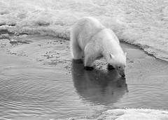 Polar Bears on Thin Ice (Christopher.Michel) Tags: ice arctic polarbear polar climatechange globalwarming franzjosefland franzjoseflandrussia