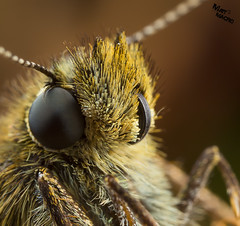 Hit me side on! (mattd85) Tags: macro nature butterfly wildlife awesome skipper bigbutterflycount