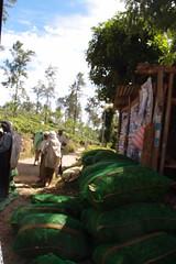 Weighing of tea (Carrascal Girl) Tags: workers women tea harvest ella plantation srilanka ceylon teagarden weighing teaplantation teaestate pickers womenworkers teapickers ceylontea afterharvest plantationworkers plantationwomen