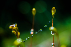 DSC_4844.jpg (Boy of the Forest) Tags: wet water droplets moss web spiderweb silk bryophytes spidersilk bryos