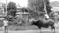 The real life of Samui (ByKarine) Tags: monochrome noiretblanc promenade combat buffle fermier thalandais buffalofight