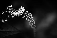 Void V (saeah_lee) Tags: flowers blackandwhite flower nature monochrome blackbackground outside outdoor depthoffield wildflowers void southkorea wildflower chiaksan wonju