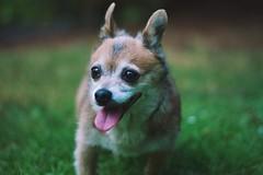 My Baby (Jake Arciniega) Tags: park portrait dog pet chihuahua oregon canon portland happy 50mm sage 7d pnw laurelhurstpark 50mm18ii pomchi vsco vscofilm vscocam