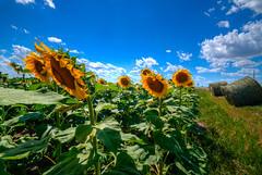 Sunflower Farm, North Dakota (ap0013) Tags: sunflower sun flower north dakota farm rural summer northdakota nd