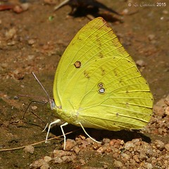 Common emigrant (sulphur form - male) (LPJC) Tags: d11 kerala india 2015 lpjc butterfly commonemigrant