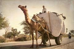 Impression of India – 7 (Chizuka2010) Tags: camel chameau camelcart transportation modeoftransport modeoftransportation motorcycle modernmodeoftransportation ancientmodeoftransportation contrast chizuka2010 luciegagnon india rajasthan shekhawati voyage inde travelphotography pb1909382 nov192016 ontheroad