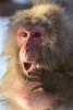 Shocking (begineerphotos) Tags: calgary calgaryzoo monkey macaque japanesemacaque 15challengeswinner beginnerdigitalphotographychallengewinner