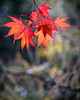 Dazzling (Fourteenfoottiger) Tags: fireworks nature colour newyear 2017 bokeh crazybokeh vintagelenses sovietlenses legacylenses helios44m helios bright leaves leaf red patterns vibrant winter autumn fall dropping twigs branch trees woods woodland countryside pop