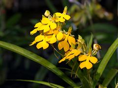 Habenaria rhodocheila (Eerika Schulz) Tags: thailand habenaria rhodocheila eerika schulz