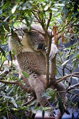 It's damned hot and I'm tired .... (radio4) Tags: koala phascolarctoscinereus tarongazoo sydney nsw australia