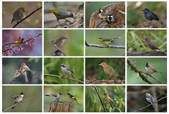 Lifers from Last year 2016 (Ken Goh thanks for 2 Million views) Tags: spectacled barwing rusty naped pitta white tail robin black bulbul grey bushchat male chestnut belled rockthrush female spot breasted parrot bill siberian ruby throat silver eared laughing thrush bellied redstart n yellow fantail mrs gould sunbird whiskered yuhina asian barred owlets japanese tit wagtail chiangmai lifers birds nature pentax k3 k5iis sigma 500 f45 da300