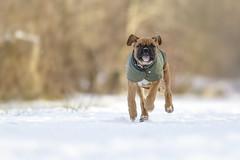bruno (Heidi Spiegler) Tags: hund welpe boxer puppy dog dogs pet pets haustier schnee winter outdoor