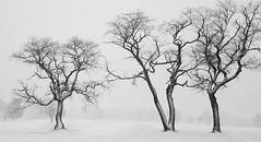 Snowy Treesome (Melanie Bradley) Tags: snow trees blackwhite nature landscape newengland connecticut winter horizon