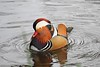 Male Mandarin Duck (Aix galericulata) (Jeff G Photo - 2m+ views! - jeffgphoto@outlook.com) Tags: aixgalericulata mandarinduck regentspark duck ducks water lake waterfowl