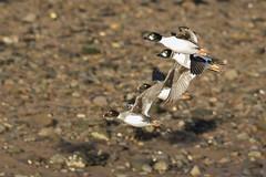 Goldeneye (Paul..A) Tags: goldeneye duck ducks waterbird birdinflight scotland