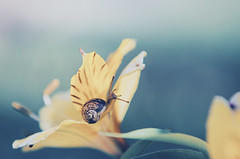 ~ Small World ~ (Flick Vlooi) Tags: snail tentacles flower macro closeup nature yellow lily shell light bokeh speedy